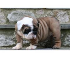 Pure Breed English Bulldog Puppies Ready for sale