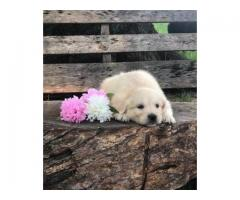 Lovely Golden Retriever Puppies for sale
