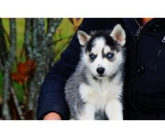 Blue Eyes Siberian Husky Puppies Ready for sale